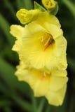 Κίτρινο gladiolus Στοκ Εικόνα