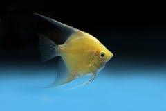 Κίτρινο Goldfish Στοκ φωτογραφία με δικαίωμα ελεύθερης χρήσης