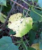 Κίτρινο Hackberry φύλλο Στοκ φωτογραφία με δικαίωμα ελεύθερης χρήσης