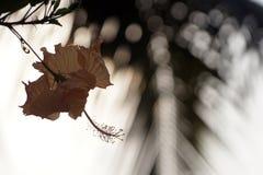 Κίτρινο Hibiscus με τη θαμπάδα backgound στοκ φωτογραφίες με δικαίωμα ελεύθερης χρήσης
