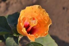 Κίτρινο hibiscus λουλούδι στοκ φωτογραφία με δικαίωμα ελεύθερης χρήσης