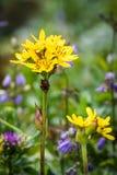 Κίτρινο hodgsonii Wildflowers Ligularia το καλοκαίρι σε Rebun Isla Στοκ Εικόνα