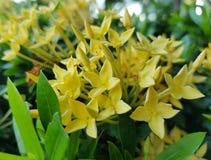 Κίτρινο Ixora στοκ φωτογραφία με δικαίωμα ελεύθερης χρήσης