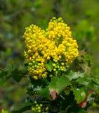 Κίτρινο japonica mahonia Στοκ Εικόνα
