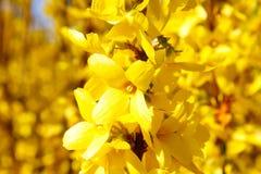 Κίτρινο laburnum Στοκ φωτογραφία με δικαίωμα ελεύθερης χρήσης