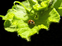 Κίτρινο Ladybug1 στοκ εικόνα