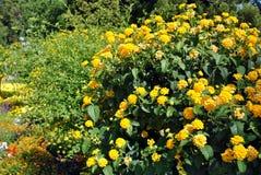 Κίτρινο Lantana Στοκ φωτογραφία με δικαίωμα ελεύθερης χρήσης
