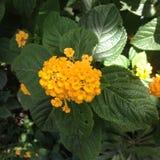 Κίτρινο Lantana Στοκ Εικόνα