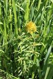 Κίτρινο Loosestrife, lysimachia vulgaris Στοκ Φωτογραφία