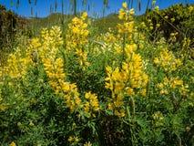 Κίτρινο lupine θάμνων, arboreus λούπινων Στοκ Εικόνα