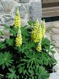 Κίτρινο Lupines Στοκ Εικόνες