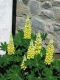 Κίτρινο Lupines Στοκ Φωτογραφίες