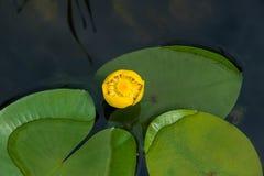 Κίτρινο lutea Nuphar νερό-κρίνων Στοκ Εικόνες