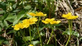 Κίτρινο marigold έλους λουλουδιών απόθεμα βίντεο