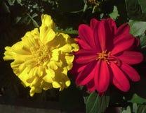 Κίτρινο Marigold και κόκκινη ντάλια Στοκ εικόνες με δικαίωμα ελεύθερης χρήσης
