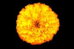 Κίτρινο marigold λουλούδι Στοκ φωτογραφία με δικαίωμα ελεύθερης χρήσης