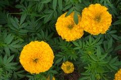 Κίτρινο marigold που καλλιεργεί στην Ταϊλάνδη Στοκ εικόνες με δικαίωμα ελεύθερης χρήσης