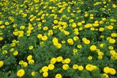 Κίτρινο marigold που καλλιεργεί στην Ταϊλάνδη Στοκ εικόνα με δικαίωμα ελεύθερης χρήσης