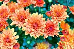 Κίτρινο marigold στοκ φωτογραφία