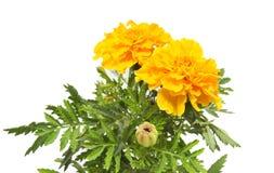 Κίτρινο marigold Στοκ φωτογραφία με δικαίωμα ελεύθερης χρήσης