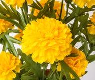 Κίτρινο marigold Στοκ Εικόνες