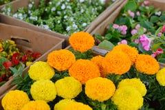 Κίτρινο marigolds λουλούδι στο κιβώτιο Στοκ Φωτογραφία