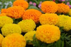 Κίτρινο marigolds λουλούδι Στοκ Φωτογραφία
