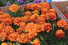 Κίτρινο marigolds λουλούδι Στοκ Εικόνες