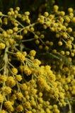 Κίτρινο mimosa και πράσινα φύλλα Στοκ Εικόνα