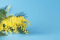 Κίτρινο mimosa λουλουδιών άνοιξη στο μπλε σαφές υπόβαθρο Στοκ φωτογραφίες με δικαίωμα ελεύθερης χρήσης