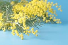 Κίτρινο mimosa λουλουδιών άνοιξη στο μπλε σαφές υπόβαθρο Στοκ Εικόνες