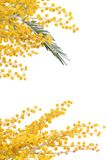 Κίτρινο mimosa που απομονώνεται στο άσπρο υπόβαθρο Στοκ εικόνες με δικαίωμα ελεύθερης χρήσης