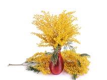 Κίτρινο mimosa που απομονώνεται στο άσπρο υπόβαθρο Στοκ εικόνα με δικαίωμα ελεύθερης χρήσης