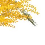 Κίτρινο mimosa που απομονώνεται στο άσπρο υπόβαθρο Στοκ Εικόνες