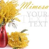 Κίτρινο mimosa που απομονώνεται στο άσπρο υπόβαθρο Στοκ Φωτογραφίες