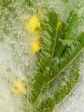 Κίτρινο mimosa στον πάγο Στοκ Εικόνα