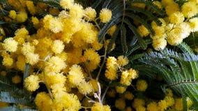 Κίτρινο Mimosa Στοκ Εικόνες