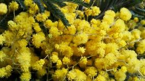 Κίτρινο Mimosa Στοκ φωτογραφίες με δικαίωμα ελεύθερης χρήσης