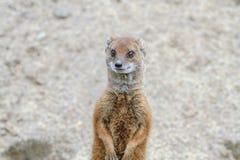 Κίτρινο Mongoose Στοκ φωτογραφία με δικαίωμα ελεύθερης χρήσης