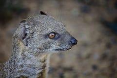 Κίτρινο mongoose Στοκ Εικόνες