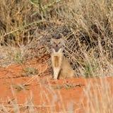 Κίτρινο mongoose Στοκ Εικόνα