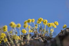 Κίτρινο montanum Alyssum λουλουδιών άνοιξη στο βράχο Στοκ Φωτογραφίες