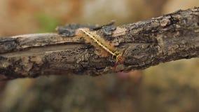 Κίτρινο Myriapoda πεταλούδων του Caterpillar άγριο incect tracheata arthropoda diplopoda φιλμ μικρού μήκους