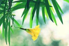 Κίτρινο oleander ή τυχερό καρύδι Στοκ φωτογραφίες με δικαίωμα ελεύθερης χρήσης