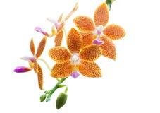 Κίτρινο Orchid Στοκ Εικόνα