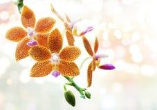 Κίτρινο Orchid Στοκ εικόνες με δικαίωμα ελεύθερης χρήσης