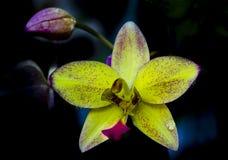Κίτρινο Orchid Στοκ Φωτογραφία