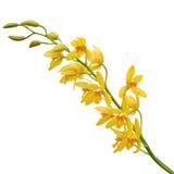 Κίτρινο Orchid Dendrobium Στοκ Εικόνα