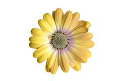 Κίτρινο osteospermum Στοκ εικόνα με δικαίωμα ελεύθερης χρήσης