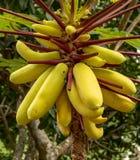 Κίτρινο papaya, ή πόδι ποδιών, Carica papaya Φρούτα που κρεμούν στο δέντρο, στοκ εικόνα